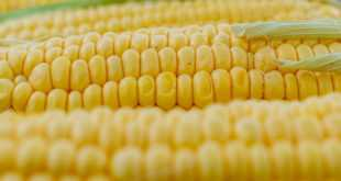 corn_5199393_12800.jpg